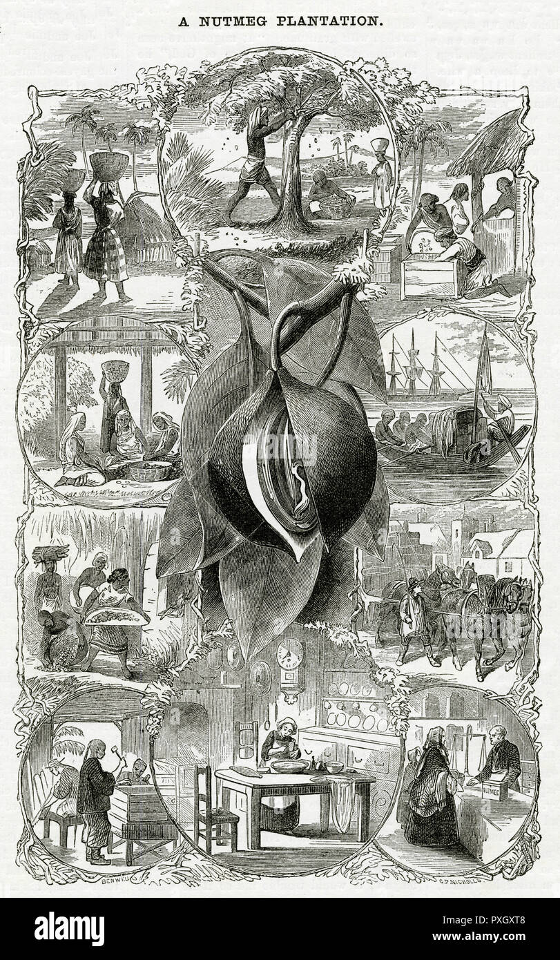 Island of Penang, in the Indian Ocean by the Strait of Malacca, consisted of a vast plantation of fruit trees of which the nutmeg was run by an English enterprise. Illustration showing various scenes starting with the shaking of the tree to bring down the ripe fruit to its use in the kitchen by the thrifty housewife in Britain.      Date: 1868 - Stock Image