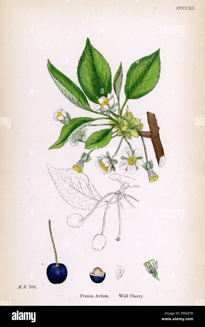 A sprig of wild cherry blossom(Prunus Avium),depicting the fruit and stone.     Date: 1869 - Stock Image