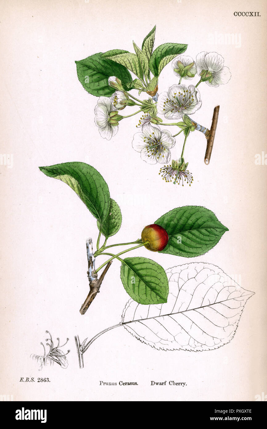 A sprig of wild cherry blossom(Prunus Cerasus),depicting the fruit and leaves.     Date: 1869 - Stock Image