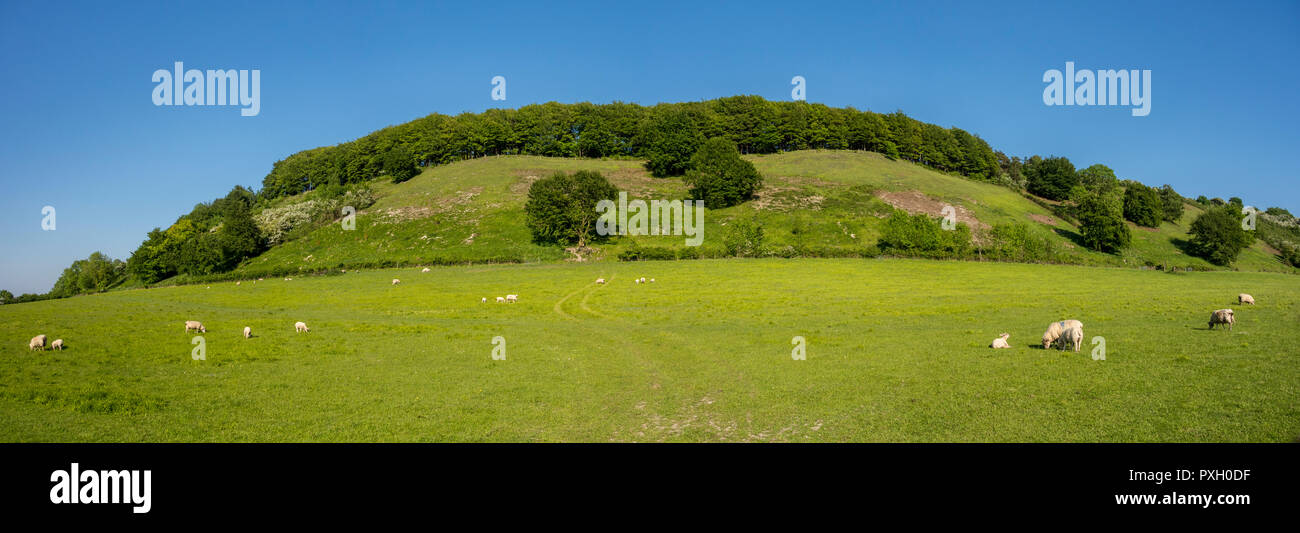 Sheep grazing on grassland field near chalk hill at Iron Age Sharpenhoe Clappers part of Chilterns AONB, Bedfordshire - Stock Image
