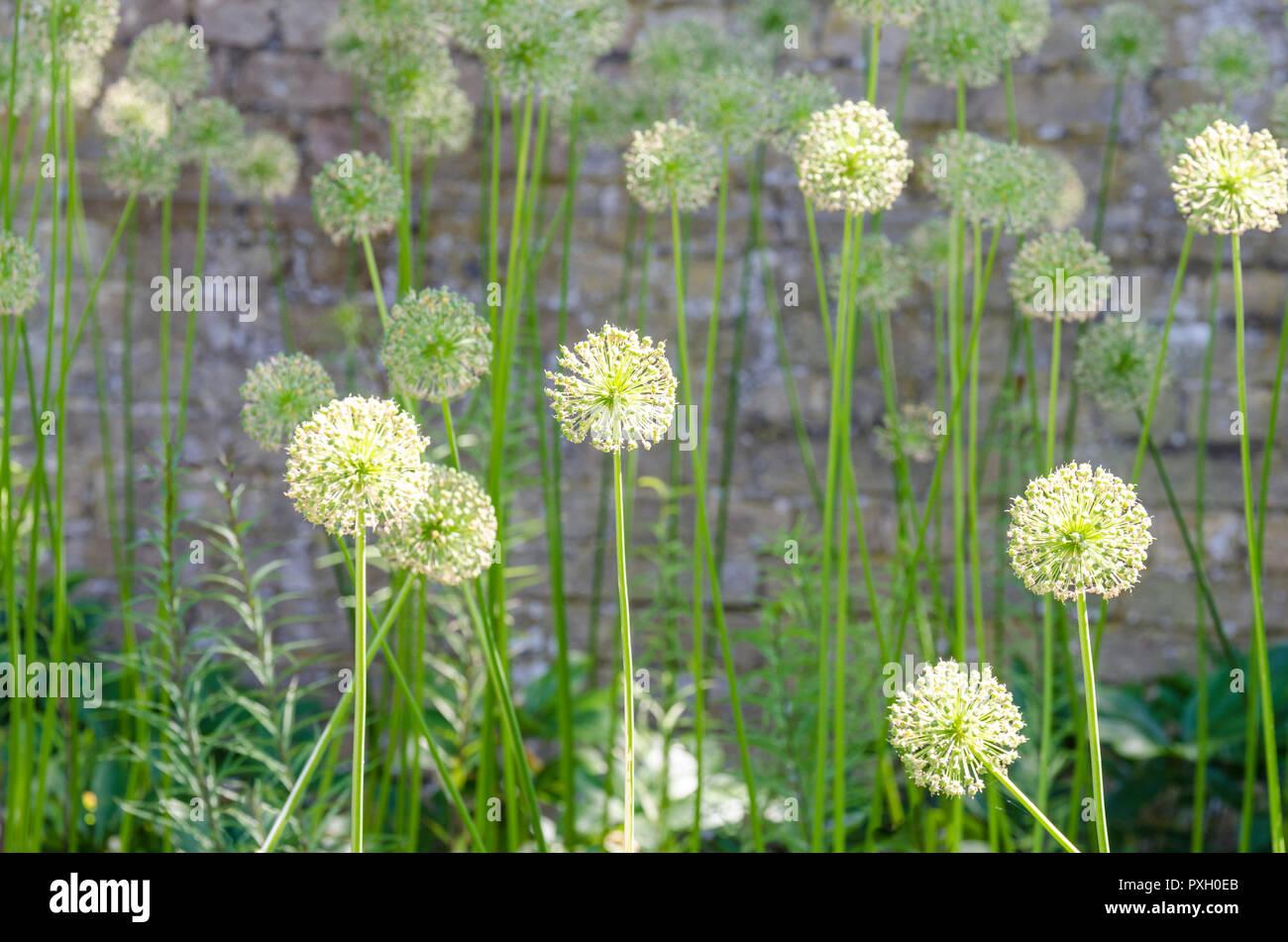 Allieae, allium seed heads, allium seed head, allium seedhead, ornamental onions, monocotyledonous Stock Photo