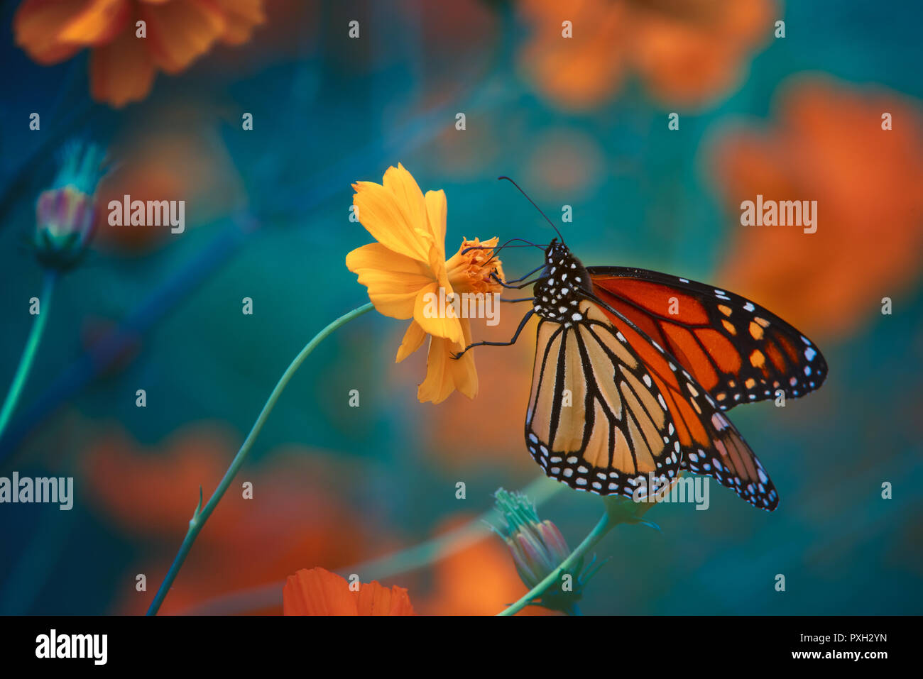 Monarch butterfly on tickseed , Michigan - Stock Image