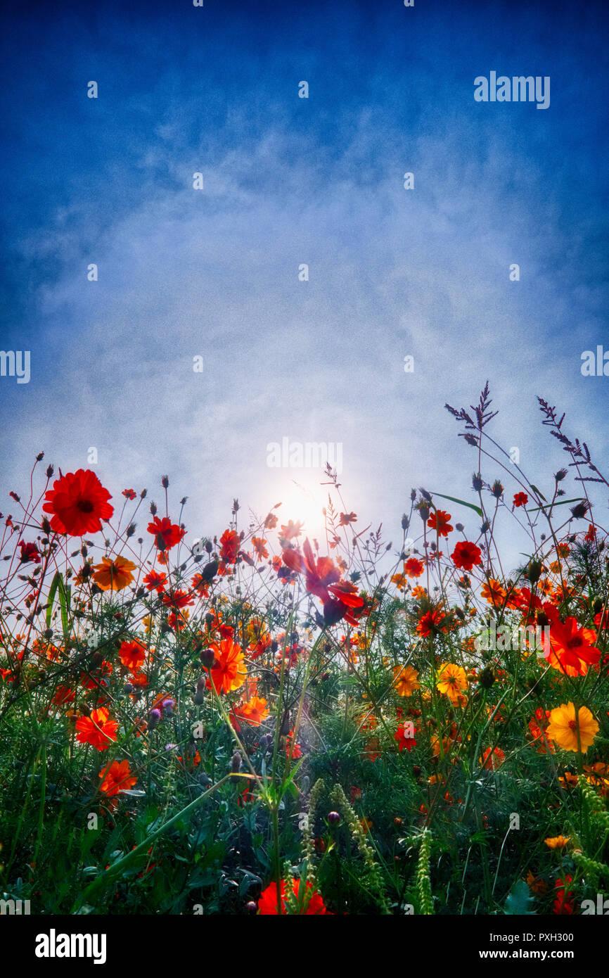 Sunny Pollinator Field, Macomb County, Michigan - Stock Image
