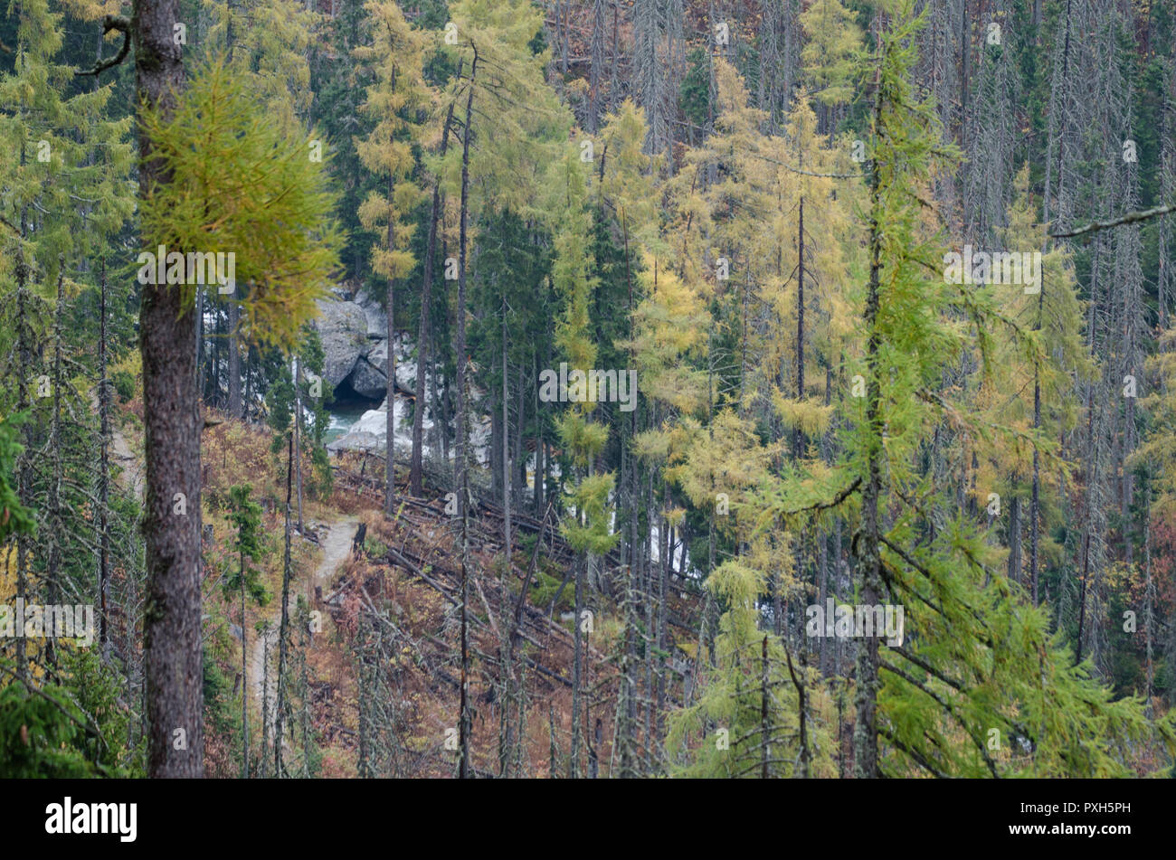 Path in the pine forest to a little river in the mountains - Stock Image