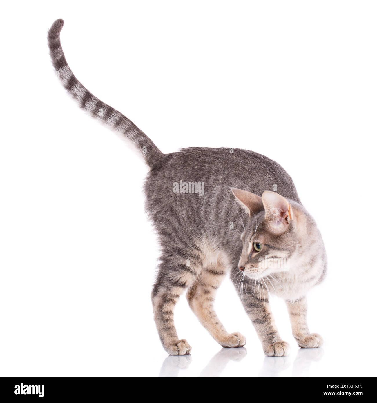 Serengeti thoroughbred cat on a white background - Stock Image