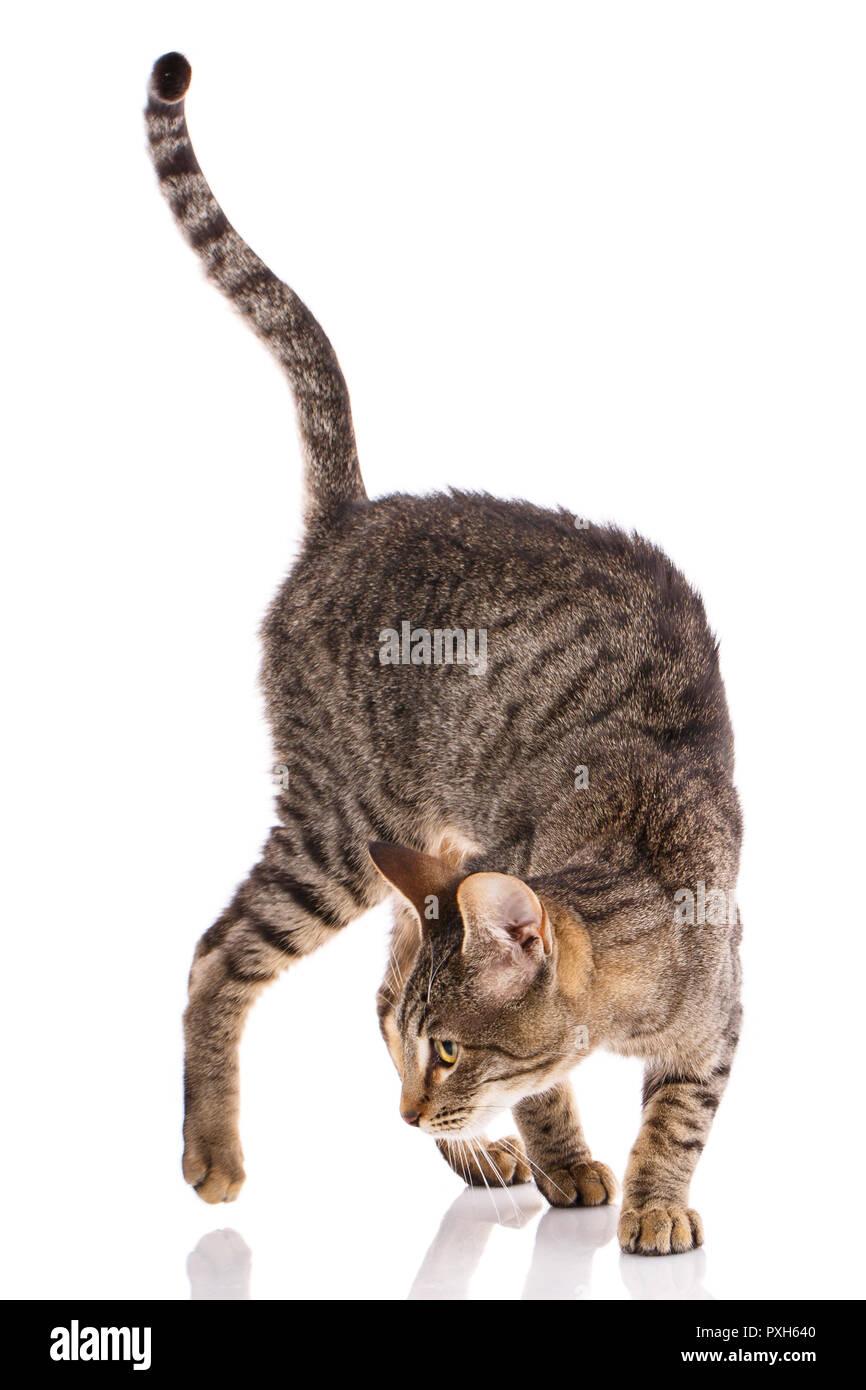 Serengeti thoroughbred cat on a white background. - Stock Image