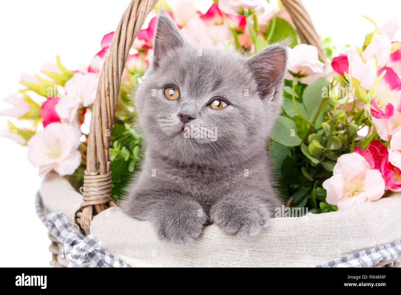 Scottish straight kitten. Purebred cat who pose for the camera - Stock Image