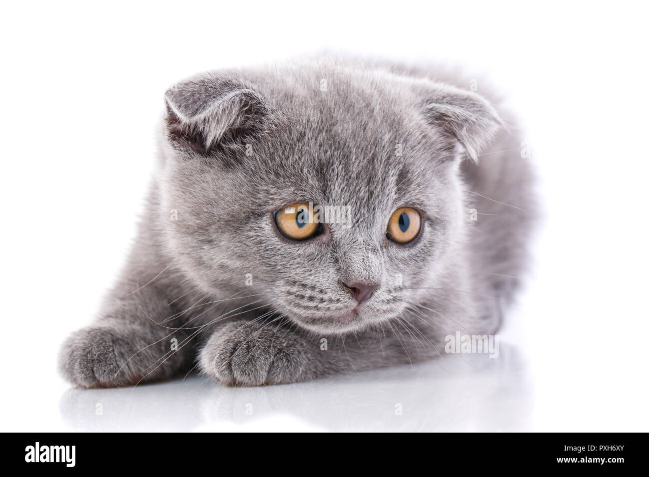 Scottish fold kitten. Kitten concept postcard. Valentine's day.  - Stock Image