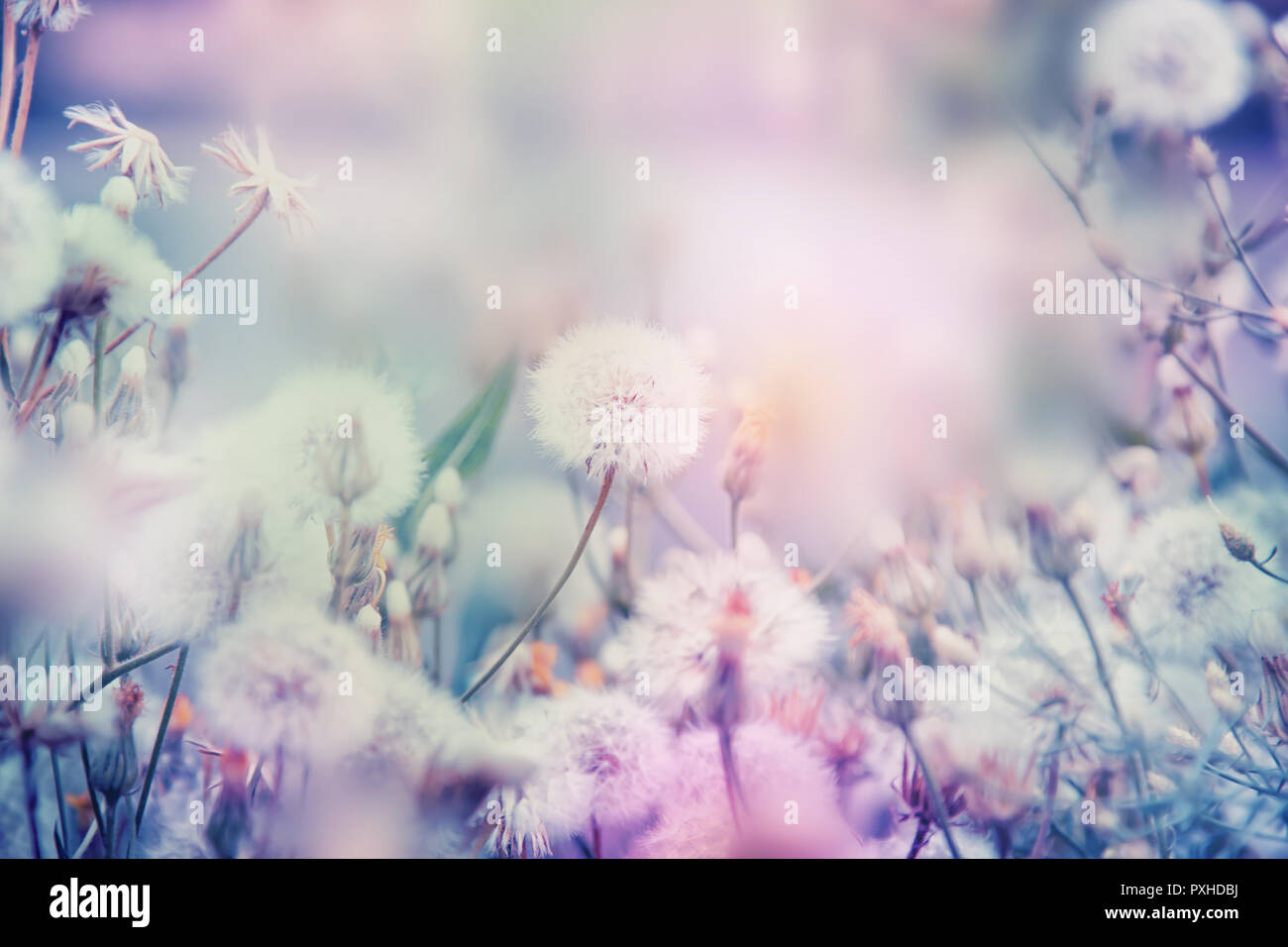 Beautiful Floral Background With Dandelion Flowers In Summer Pastel