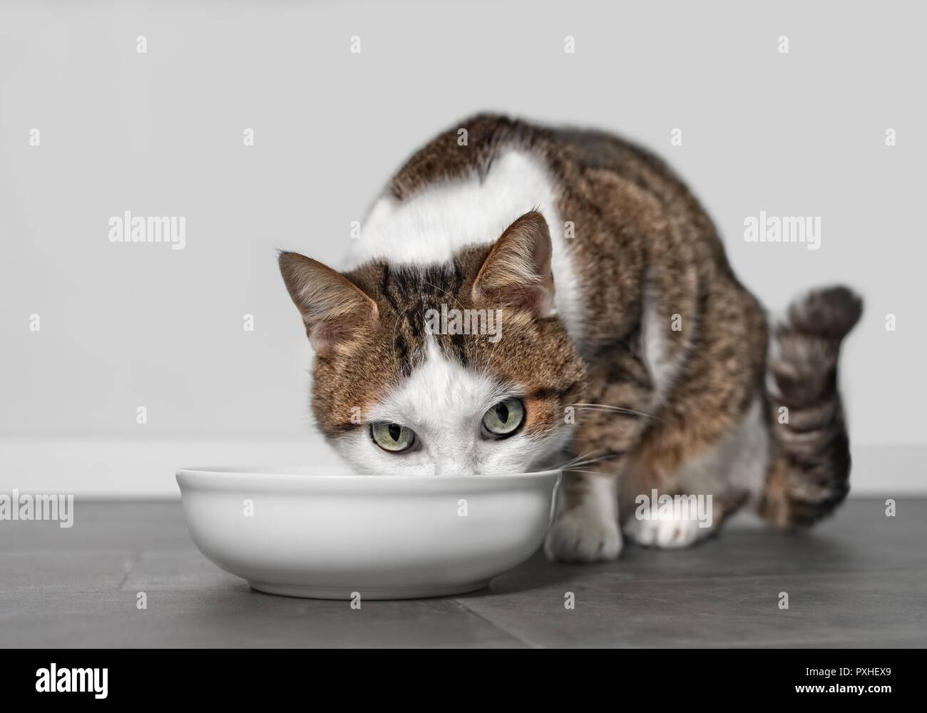 Tabby cat eating out of food bowl - Stock Image
