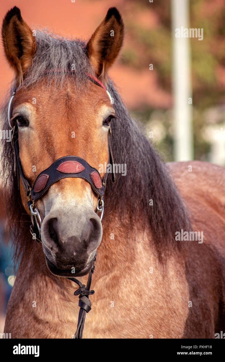 Concept Kaltblutmarkt 2018. Horse harness - Stock Image