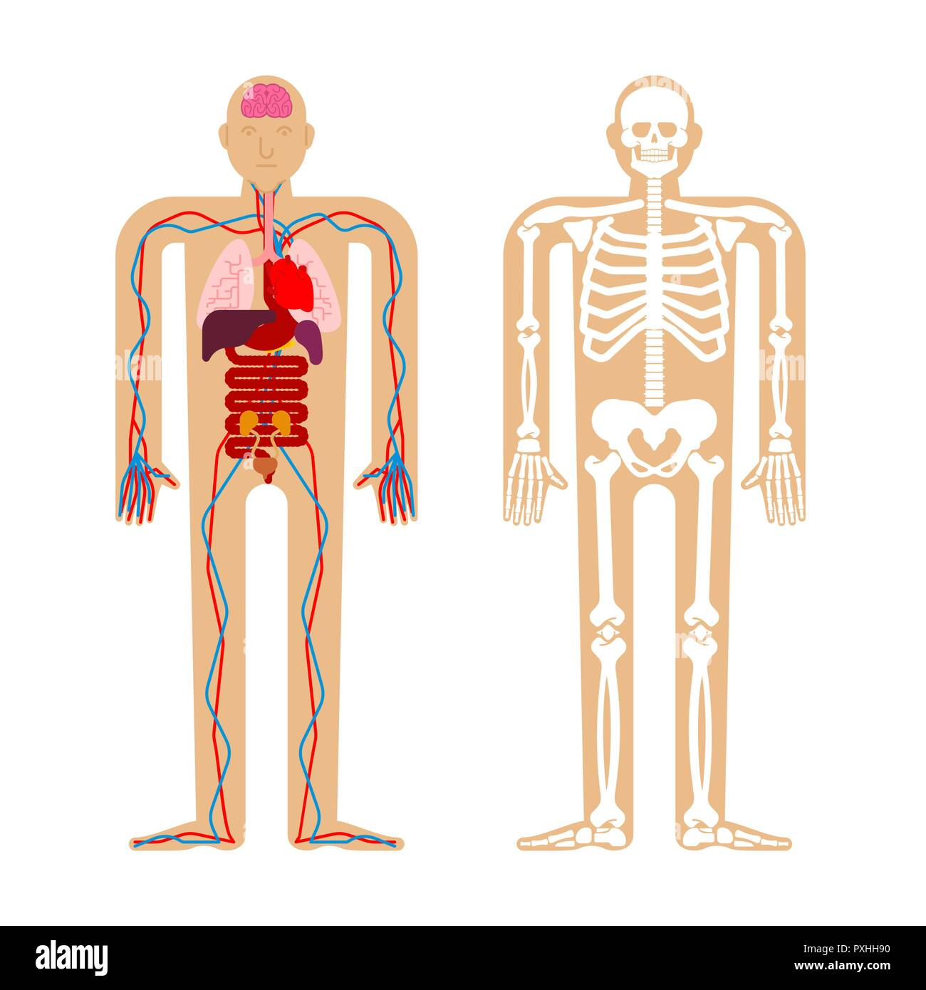 Human Anatomy System Skeleton And Internal Organs Systems Of Man