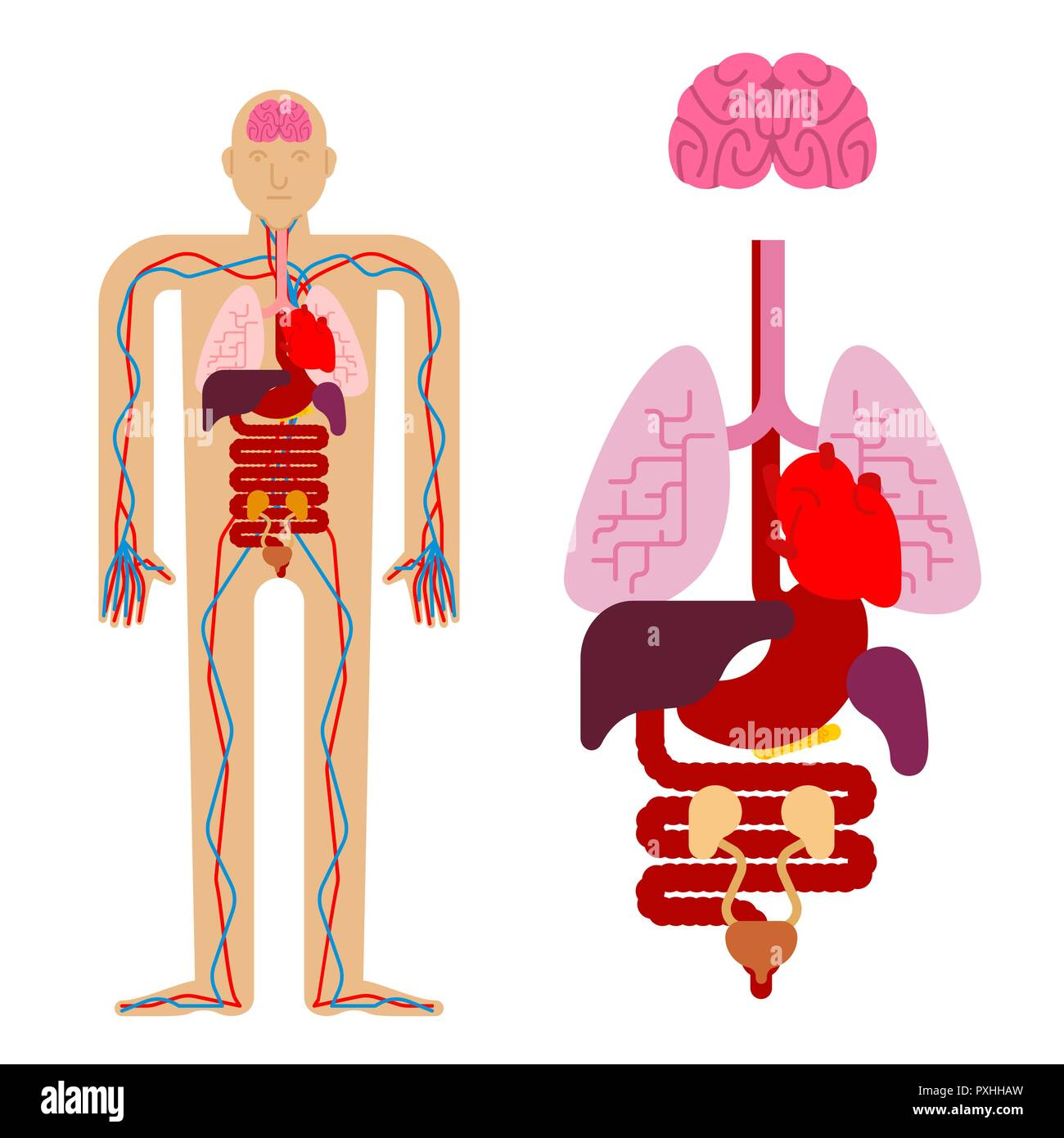 Human Anatomy Organs Internal Systems Of Man Body And Organs