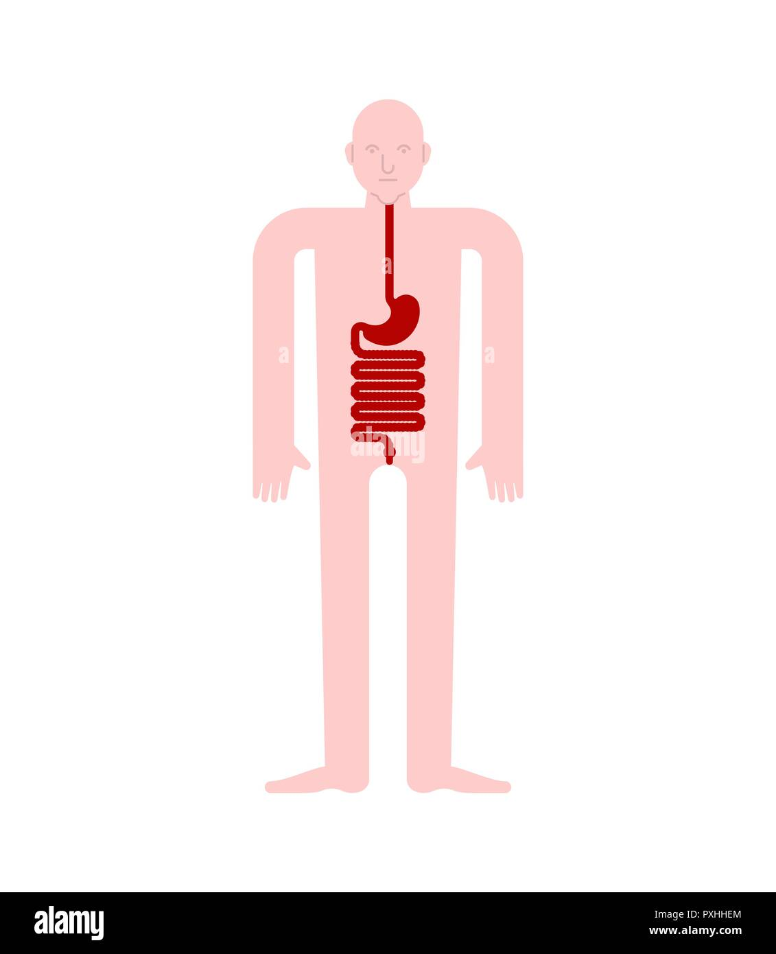 Stomach And Esophagus And Rectum Human Anatomy Gastrointestinal