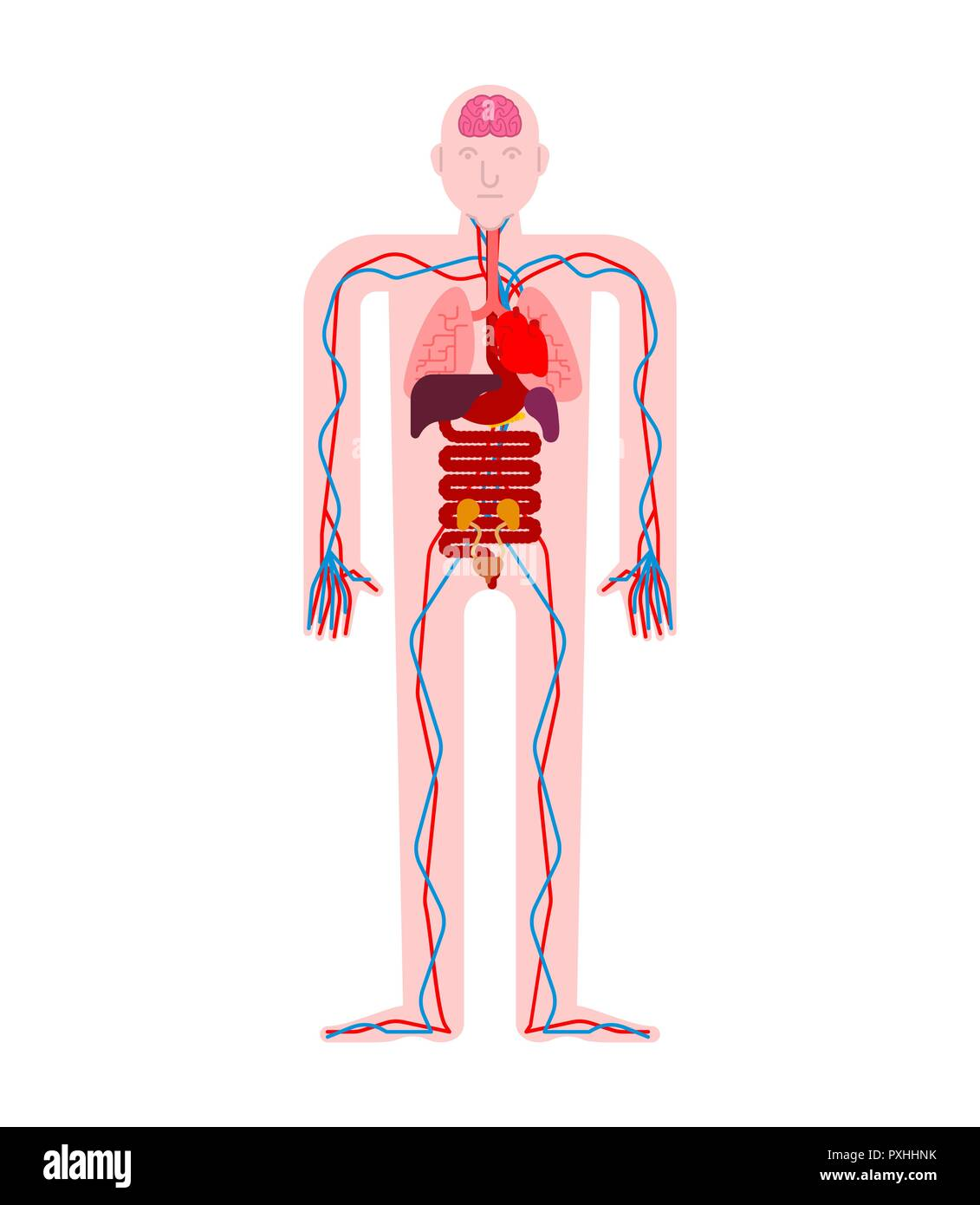 Human Anatomy Organs Internal Systems Of Man Body And Organs