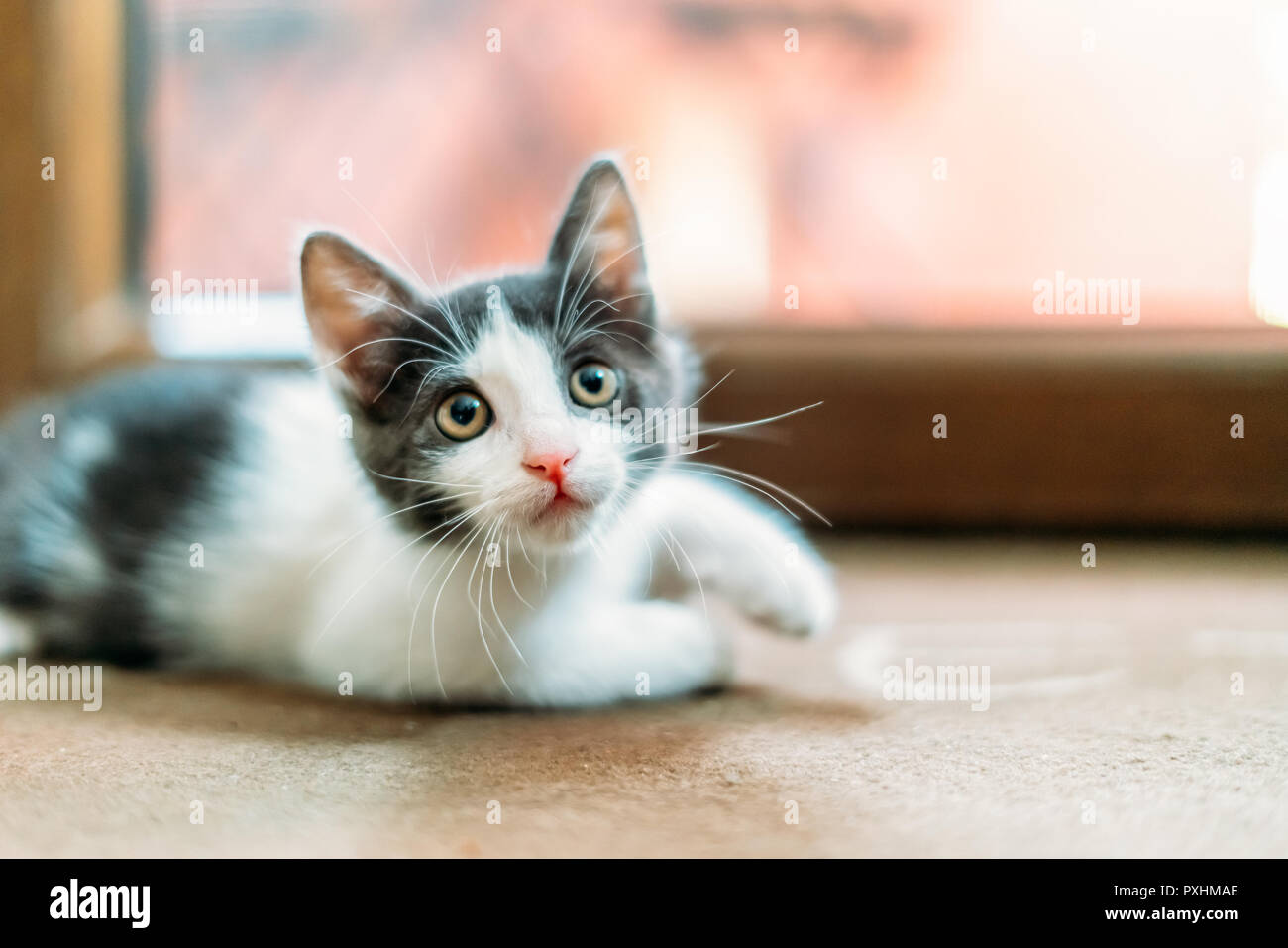 Cute Baby Cat Portrait At Home - Stock Image