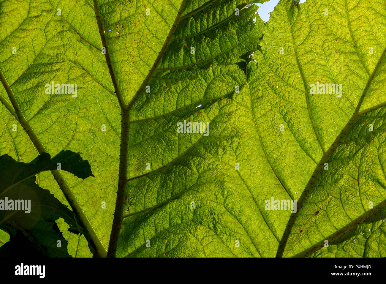 Giant leaves of Gunnera manicata, commonly known as giant rhubarb. Every part of the huge plant has spiky thorns. Close up photo shows leaf structure. Stock Photo