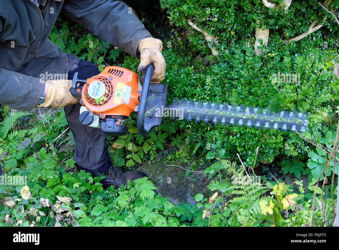 Man wearing ear protectors trimming hedge with hedge trimmer in autumn garden in Carmarthenshire Wales UK  KATHY DEWITT - Stock Image