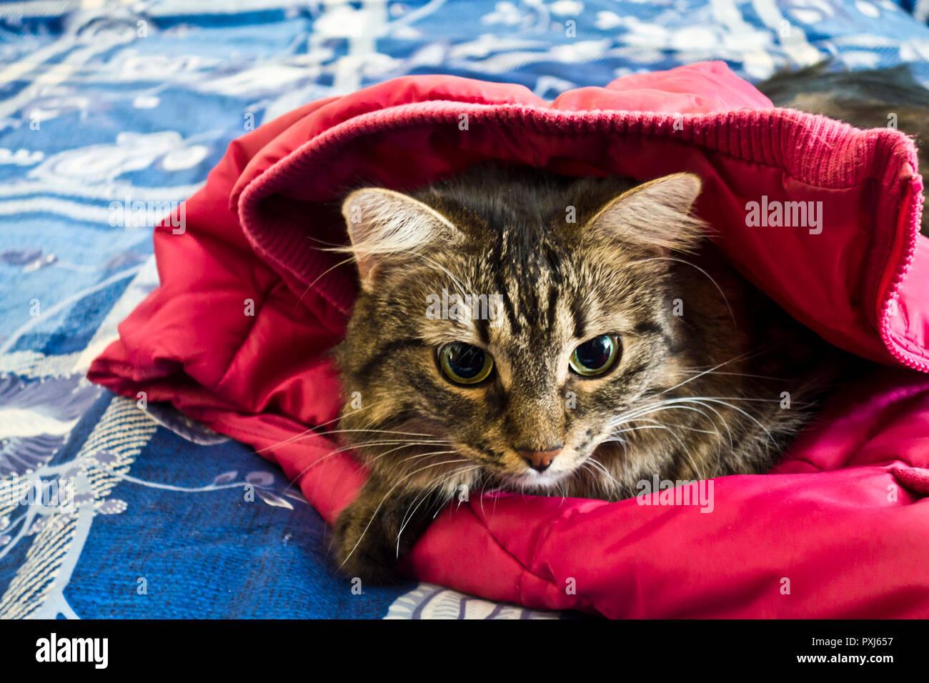 domestic crossbreed cat portrait - Stock Image