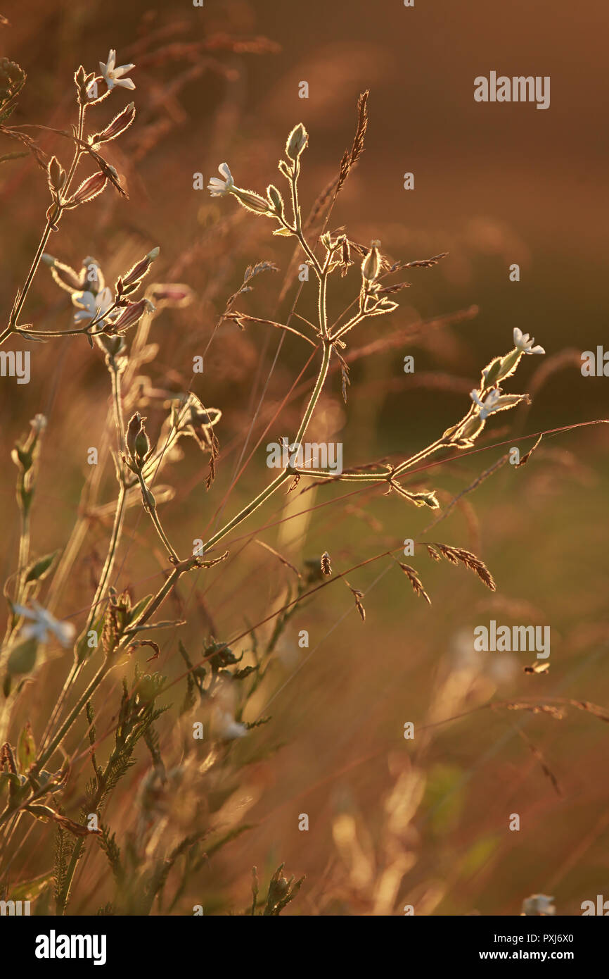 Field at sunset, sunset on meadow. Grass in the sunlight background. Summer, autumn, fall season landscape. Summertime, autumntime sun scene in Latvia - Stock Image
