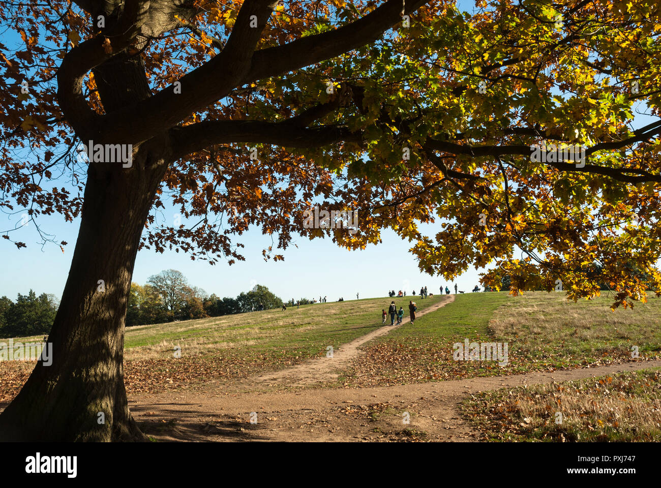 Beautiful golden autumnal colours of an oak tree in foreground with people walking over Parliament Hill in the distance, on a sunny afternoon. - Stock Image