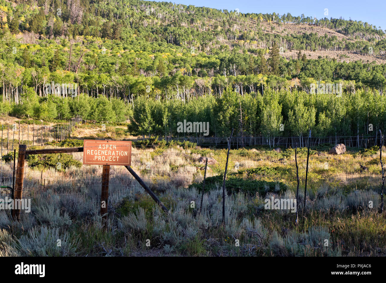 Quaking Aspen Grove 'Pando Clone' , also known as Trembling Giant, Clonal colony. - Stock Image