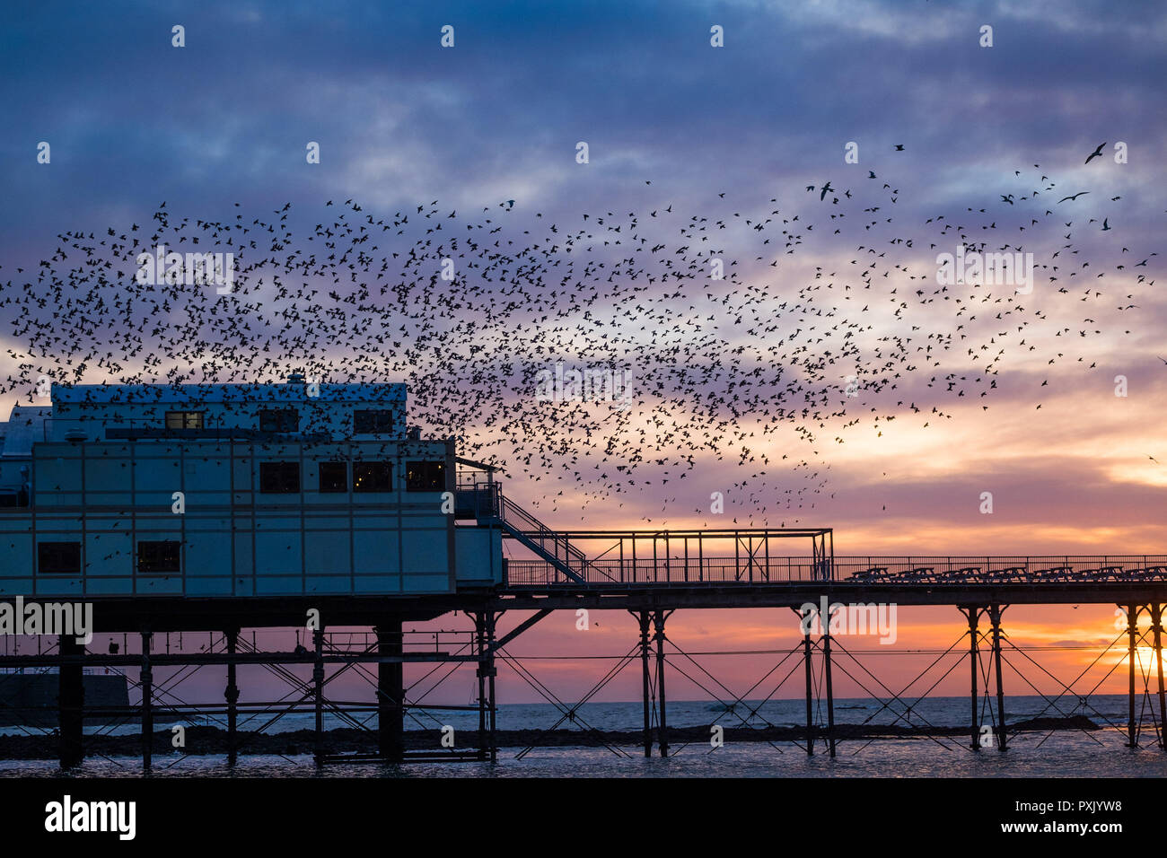 UK Weather: Tens of thousands of tiny starlings perform elegant aerial balletic 'murmurations' in the sky above Aberystwyth, before swooping down to roost for the night on the forest  of cast iron legs underneath the town's Victorian seaside pier. Aberystwyth is one of the few urban roosts in the country and draws people from all over the UK to witness the nightly displays  photo credit Keith Morris/ Alamy Live News Stock Photo