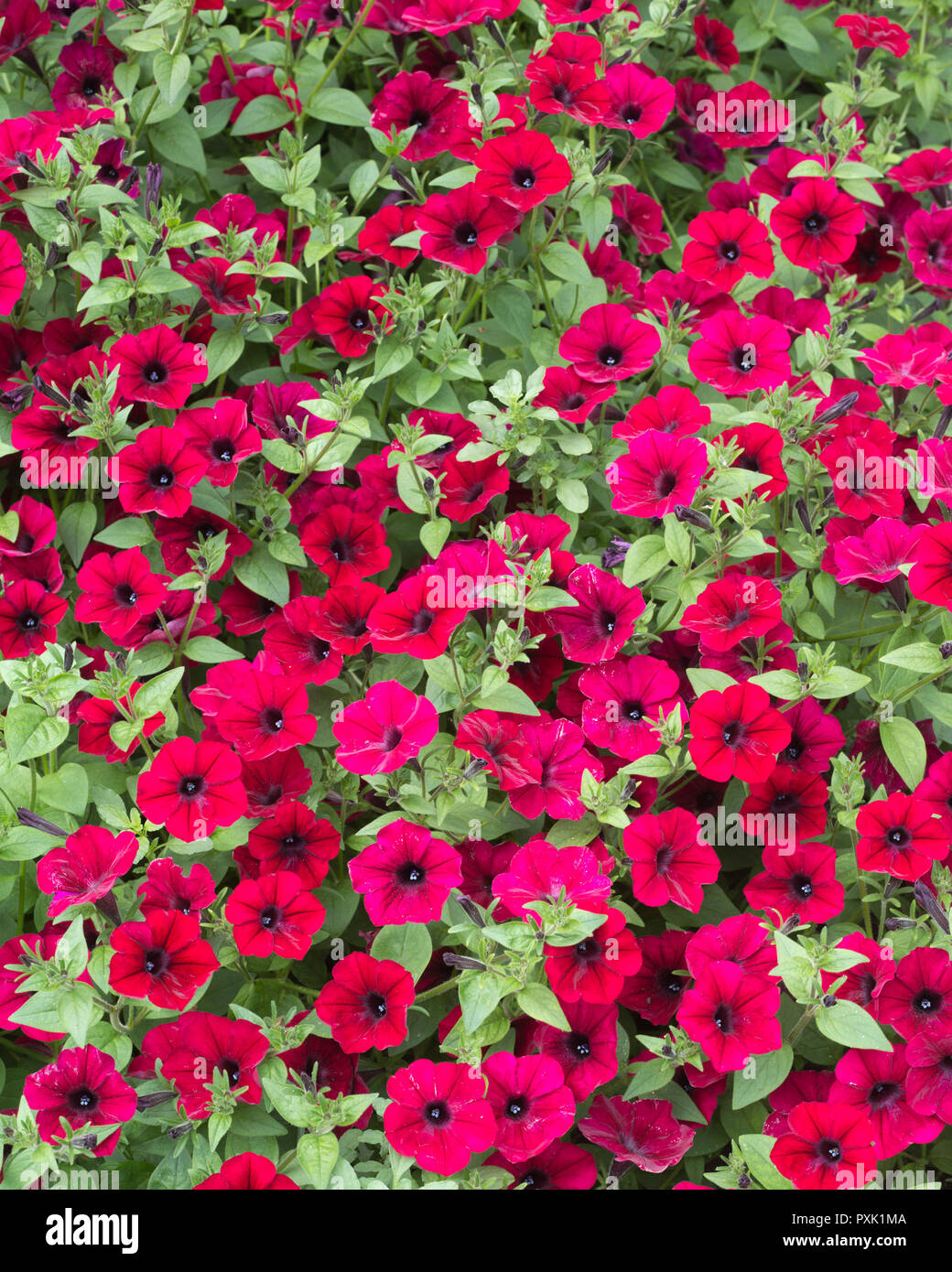 'Tidal Wave Red Velour' Petunia (Petunia x hybrida) flowers in display garden at Agriculture building on University of Saskatchewan campus - Stock Image