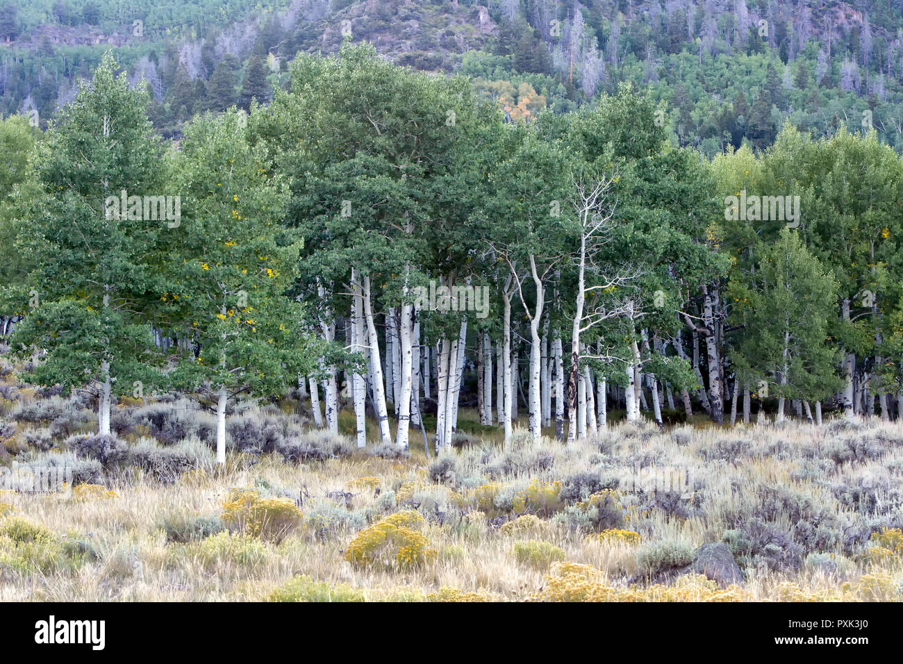 Quaking Aspen Grove 'Pando Clone' , also known as Trembling Giant, Clonal colony of an individual male quaking aspen. - Stock Image