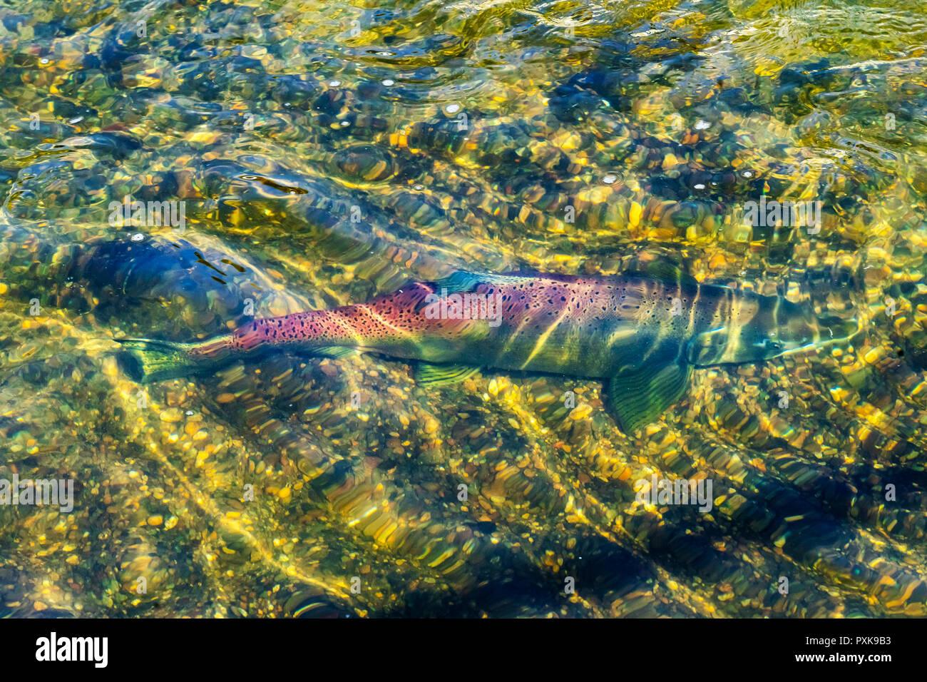 Salmon Swimiming Up Issaquah Creek to Salmon Hatchery Issaquah Washington - Stock Image
