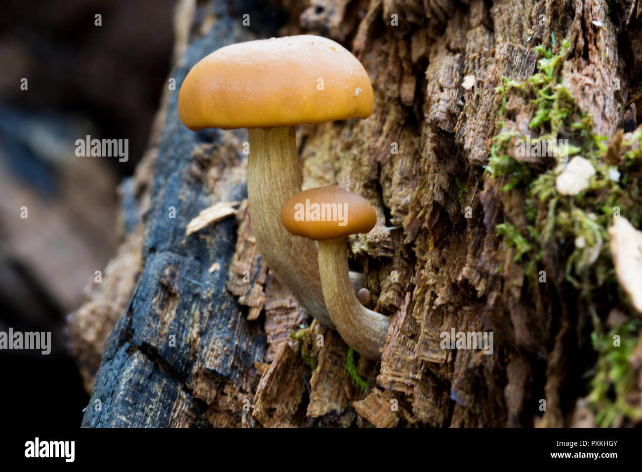 Toadstools sprouting from dead wood. Close up of mushroom fungus. Little mushrooms growing in the forest. Stock Photo
