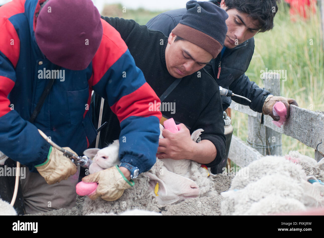 Vaccination of sheep to the estancia Monte Dinero, at the end of the ruta Cuarenta, behind the beach of Cabo Virgenes. - Stock Image