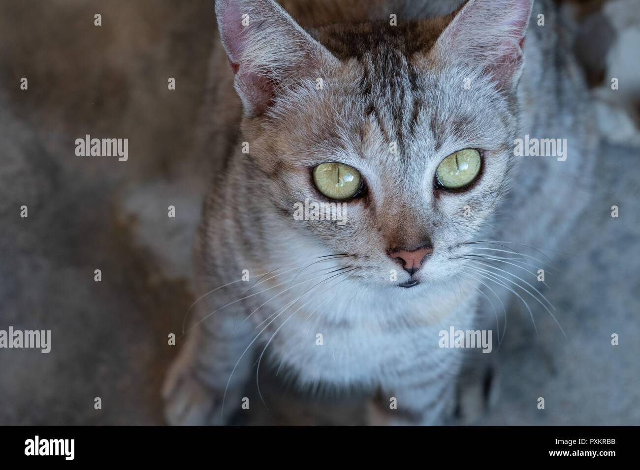 Top view closeup of gray cat with yellow eyes - Stock Image