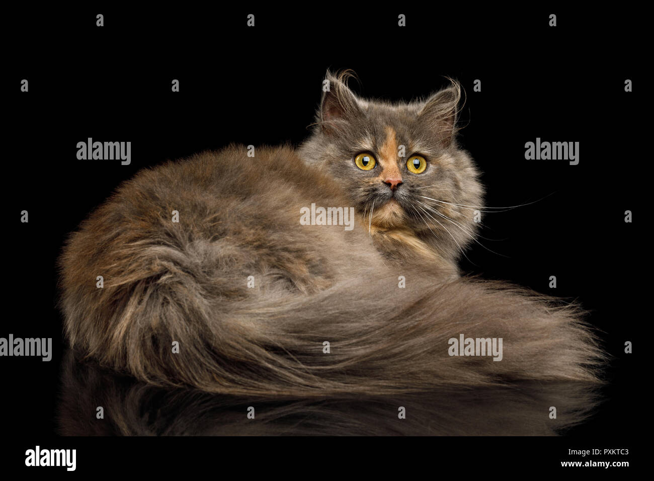 Short Munchkin Cat tortoise fur Lying and Looking back on Isolated Black background - Stock Image