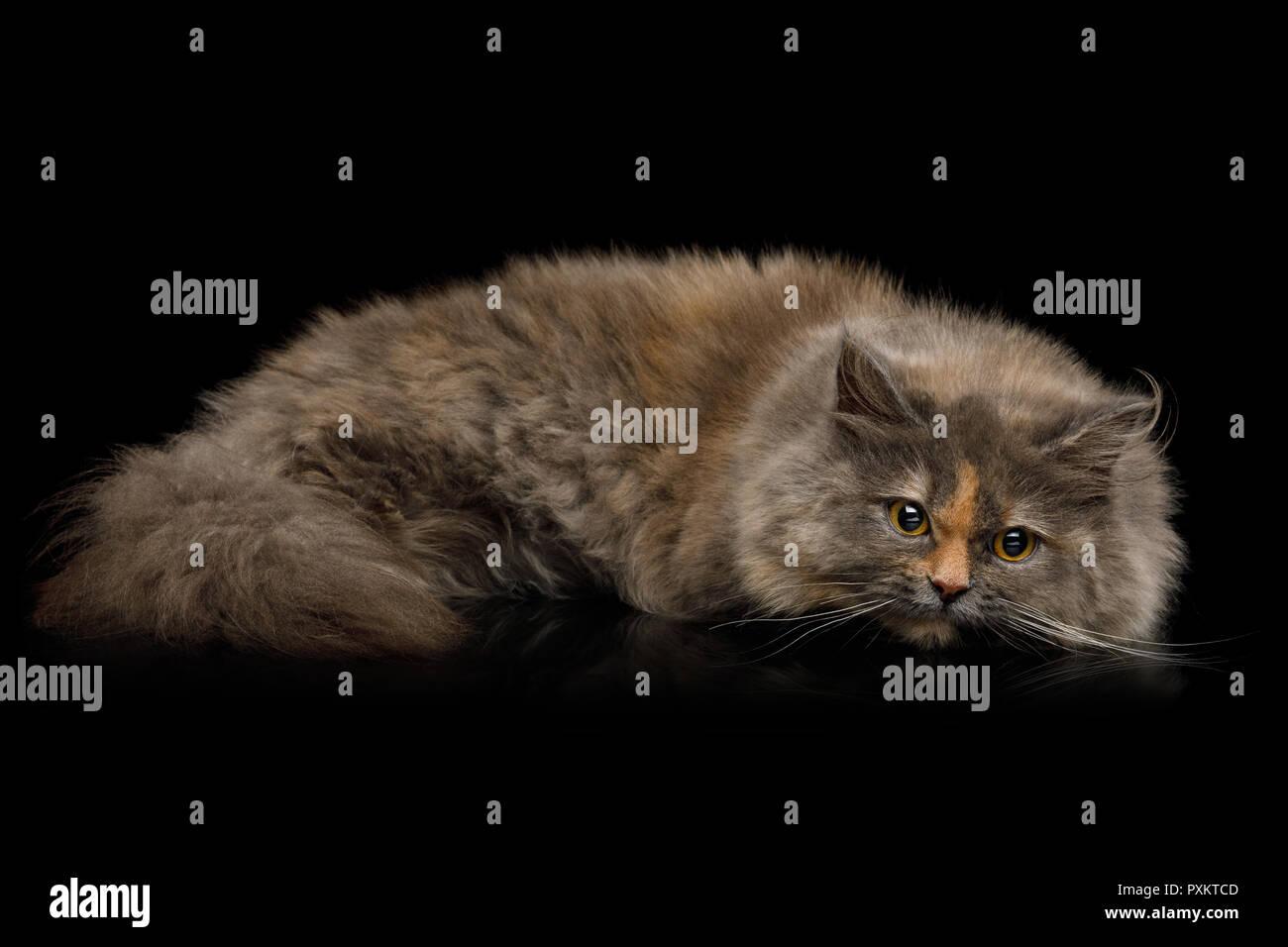 Short Munchkin Cat tortoise fur Lying on Isolated Black background - Stock Image
