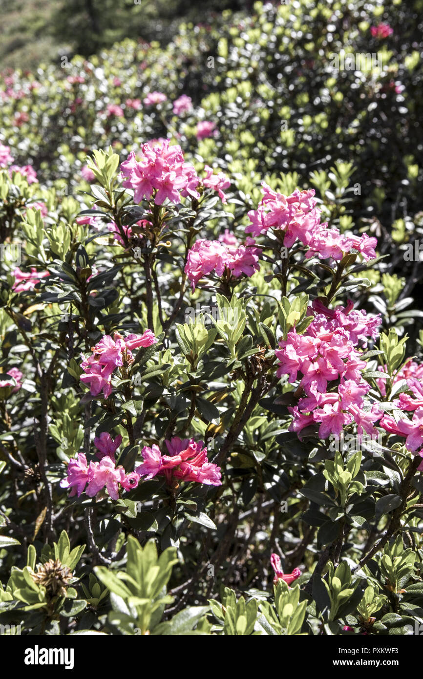 Alpenrose, Rhododendron, close-up, Natur, Vegetation, Botanik, Bergregion, Alpenblume, Blume, Stiel, Bluete, rosa, geschuetzt, Naturschutz - Stock Image