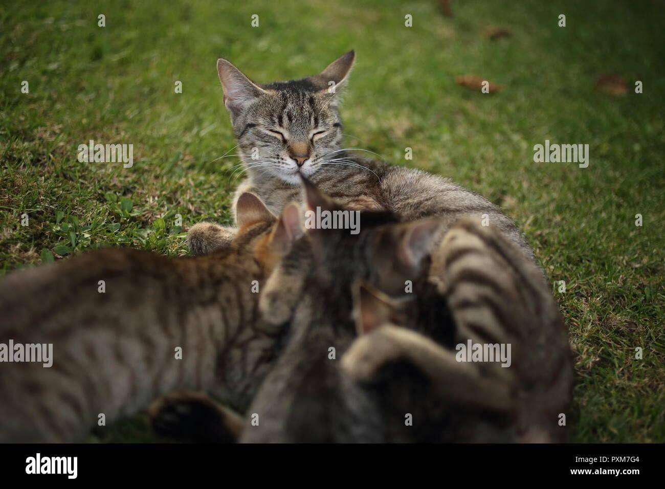 Mother cat nurses tabby kittens outdoors in the garden - Stock Image