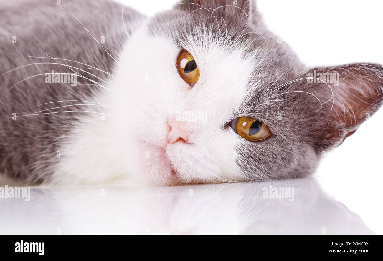 Reflection effect. White-Gray cat. Cat's face, close-up. Isolated on a white background - Stock Image