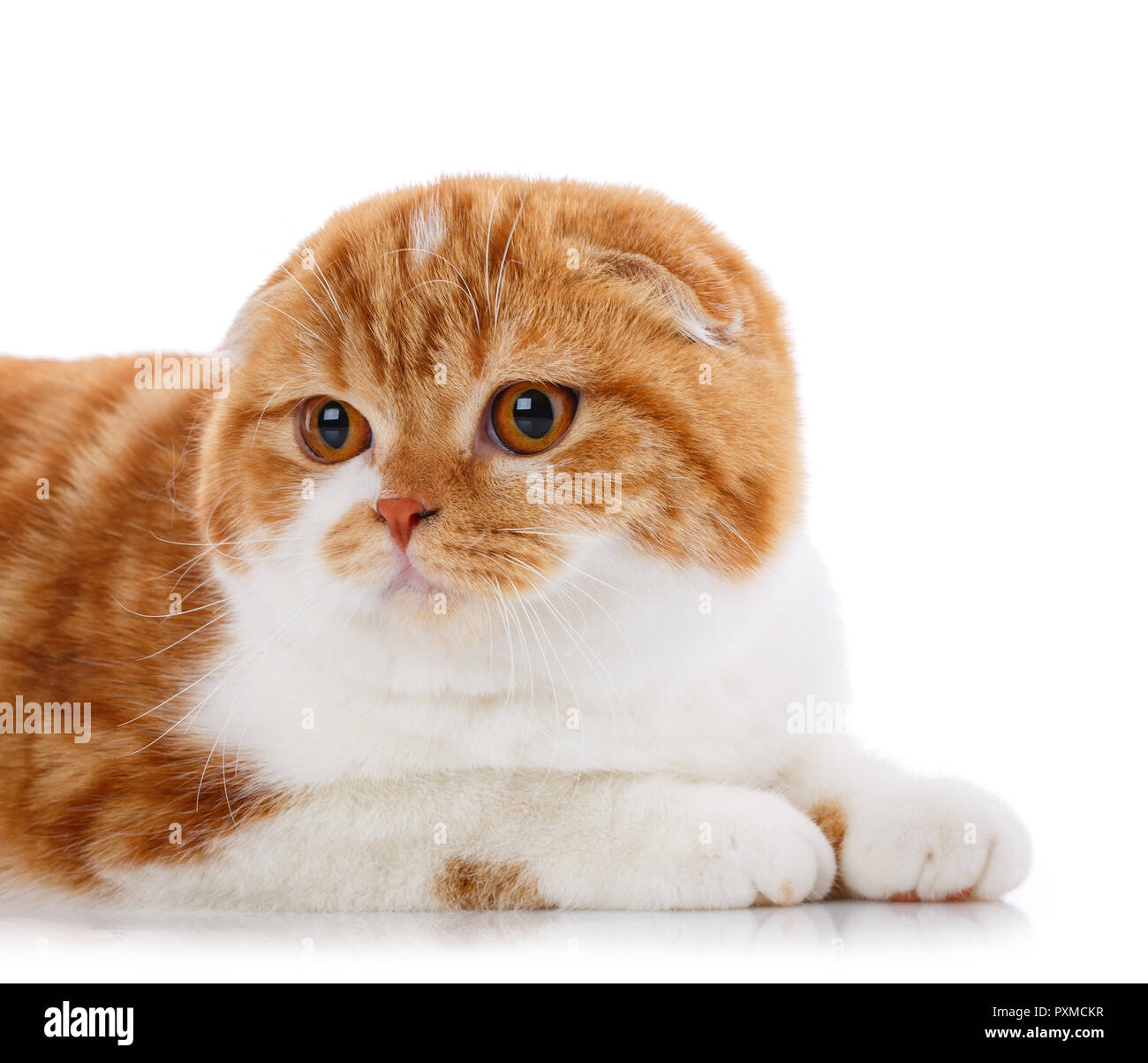 Cute playful cat. Pets, animals and cats concept - Purebred British cat on a white background - Stock Image