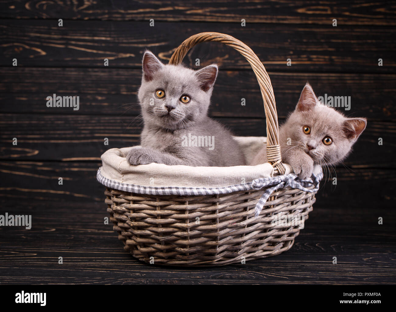 Scottish straight kittens. The cat looks at the camera. Two fluffy kittens are housed in a basket. Funky kittens explore new territories. On a black b - Stock Image