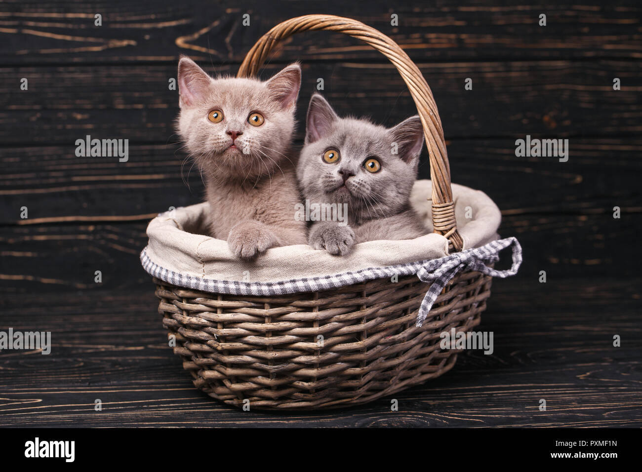 Scottish straight kittens. Two pedigree kittens in the basket. The cats put the paws on the basket. Funky kittens explore new territories. On a black  - Stock Image