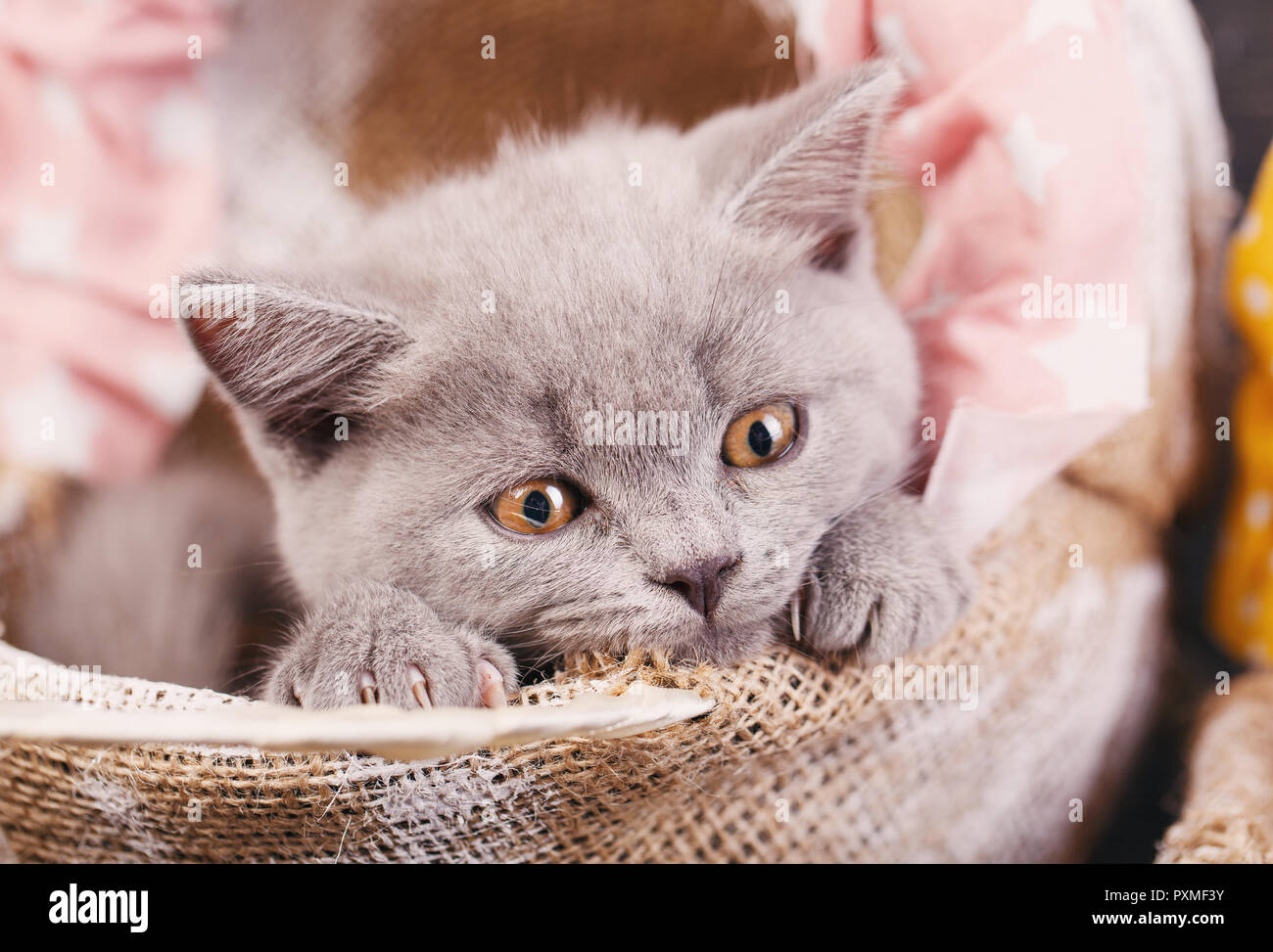 Scottish straight kitten. Photographing a kitten at a photo studio. The kitten looks down. - Stock Image