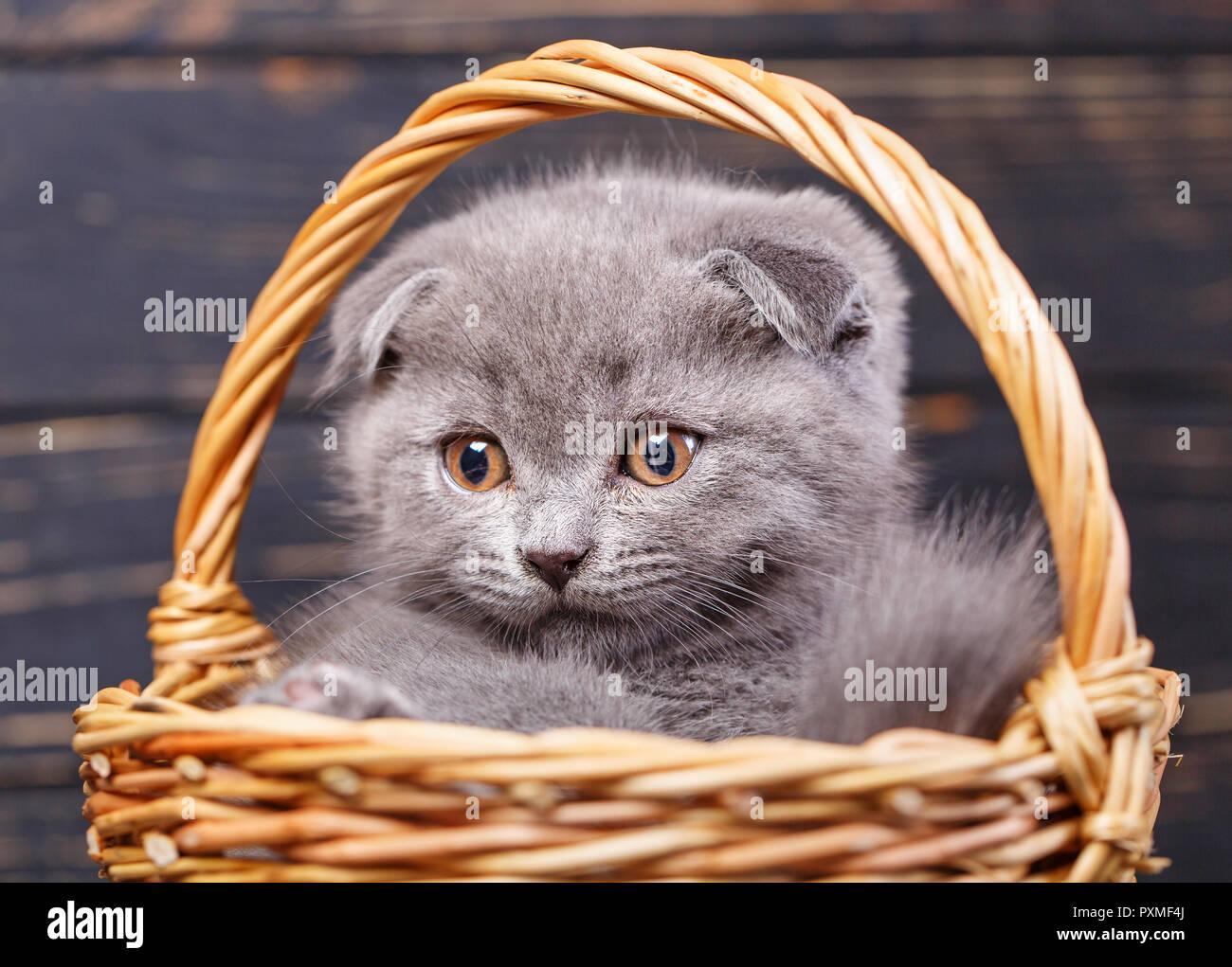 Scottish fold kitten. Gray kitten on photo studio. Funny gray kitten in the basket. The kitten looks to the left. Photographing a kitten at a photo st - Stock Image