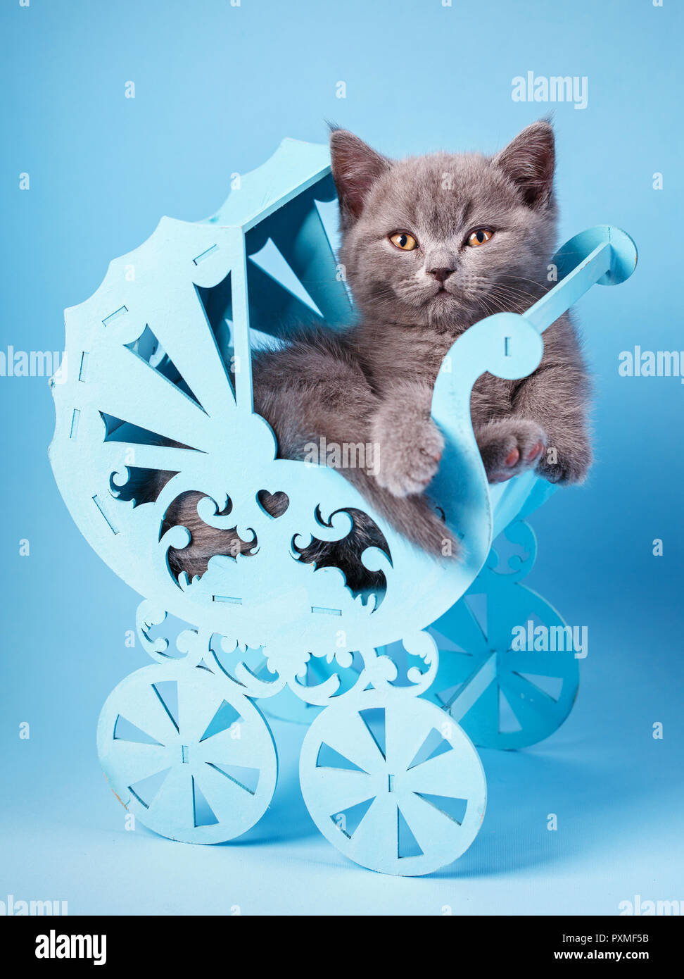 Scottish straight kitten. Kitty in a decorative cradle. The cat looks at the camera. A playful, fluffy kitten explores new territories. On a blue back - Stock Image