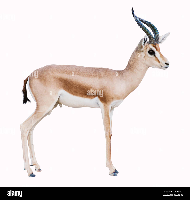 isolated Antelope on white background Stock Photo