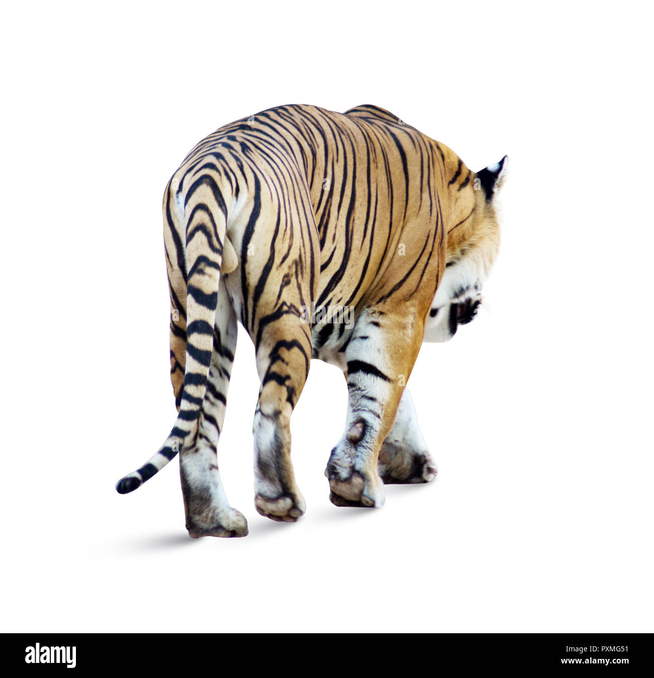 isolated Tiger on white background. Tiger in the natural habitat. Tiger male walking head-on composition. beautiful Indian tiger, Panthera tigris Stock Photo