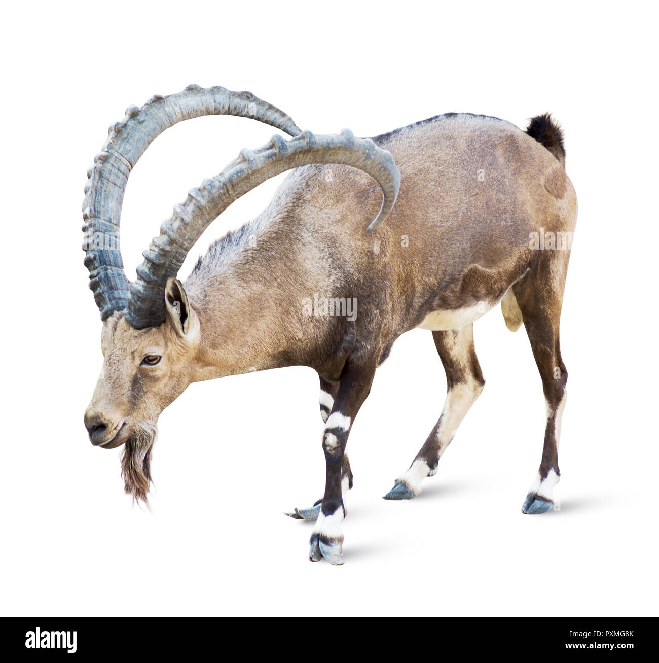 Alpine Ibex isolated on white background, Young alpine ibex male on the top of the mountain isolated on white background Stock Photo