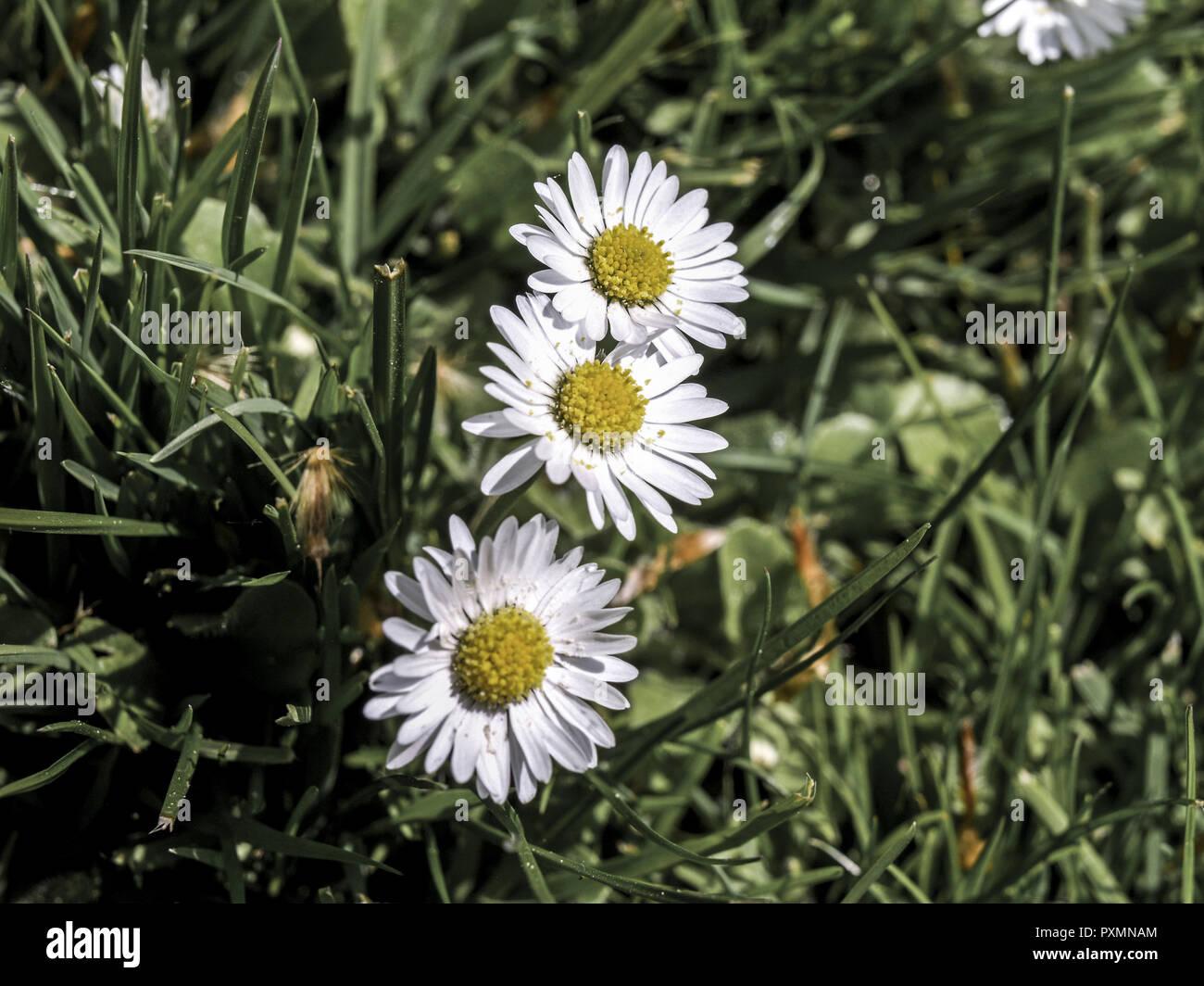 Wiese Gaensebluemchen Bellis Perennis Asteraceae Korbbluetler