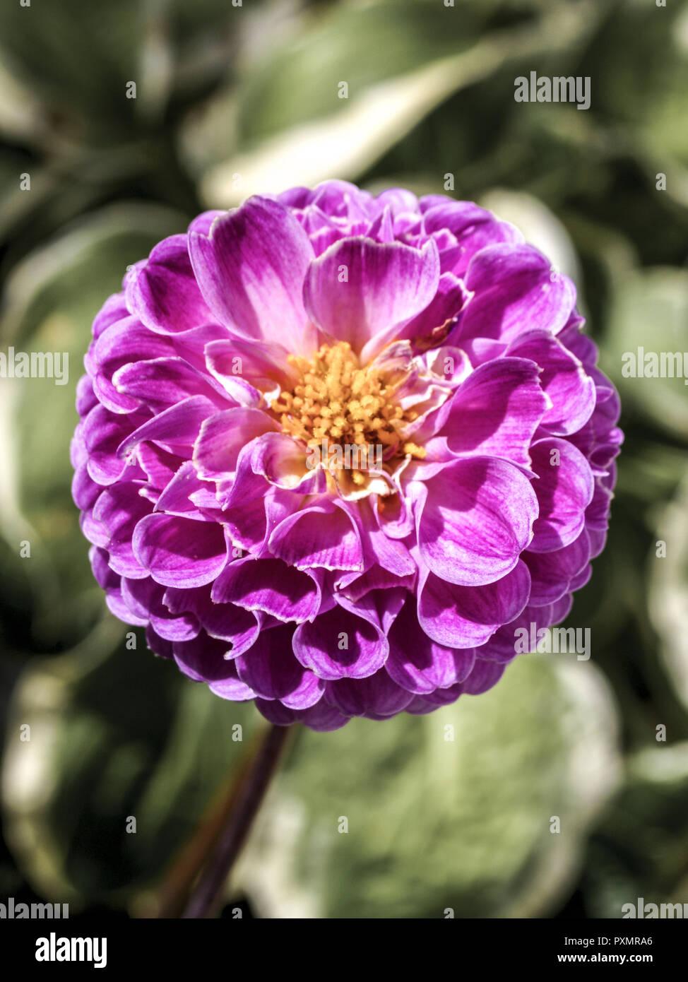 Dahlie, Bluete, purpur, Pflanze, Gartenpflanze, Gartenblume, Blume, Korbbluetler, Georgine, Dahlia, Zierpflanze, Zierblume, Sommerblume, Natur, Nahauf Stock Photo