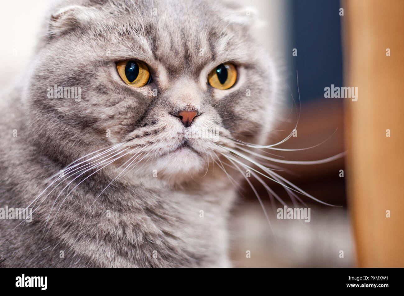 The Scottish Fold is a breed of domestic cat with a natural dominant-gene mutation that affects cartilage throughout the body, causing the ears to fol - Stock Image